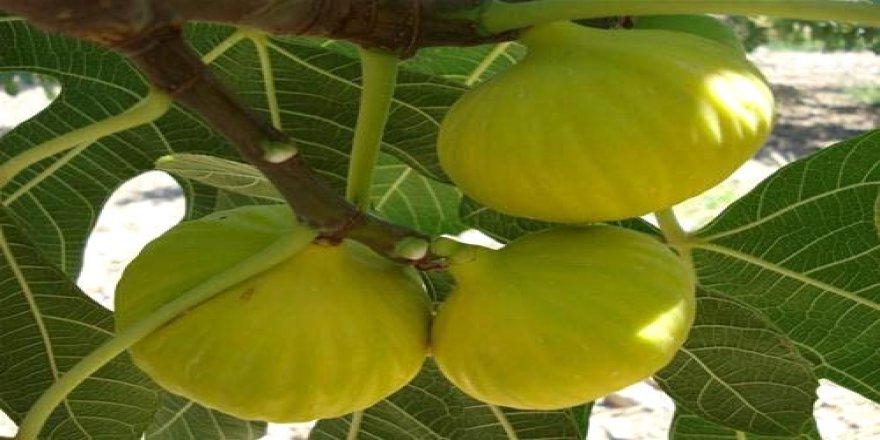 Aydın'da sezonun ilk inciri hasat edildi