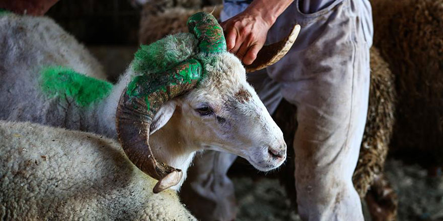 Kurban Bayramı'nda kesilecek hayvan sayısı açıklandı