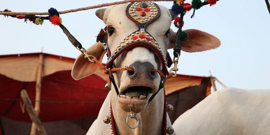 Pakistanlı kurban satıcıları, hayvanların satılması için farklı yöntemler deniyor