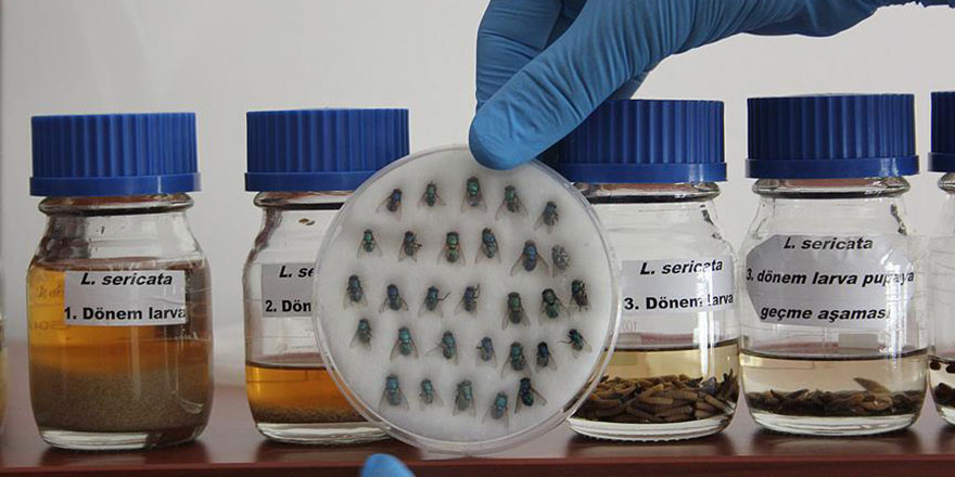 Sinek larvaları diyabet hastalarına şifa oluyor