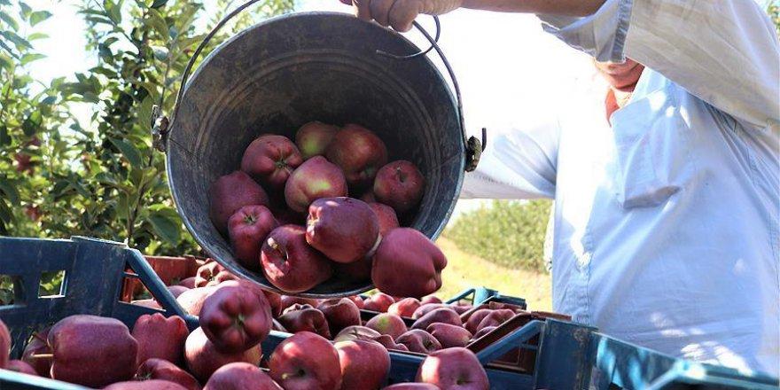 Meşhur Isparta Elması hasat ediliyor