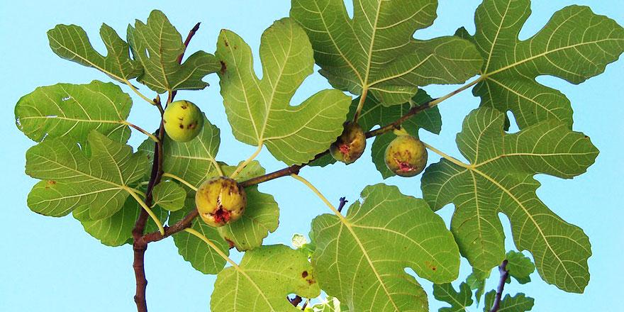 Subhanallah: 44 yıl önce kaybolan ceset, midedeki tohumdan incir ağacı çıkınca bulundu