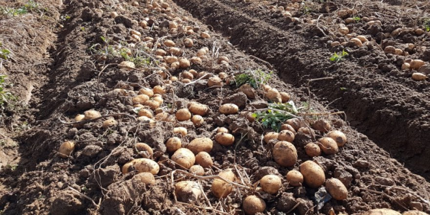Niğde'nin yerli ve milli patatesleri görücüye çıktı