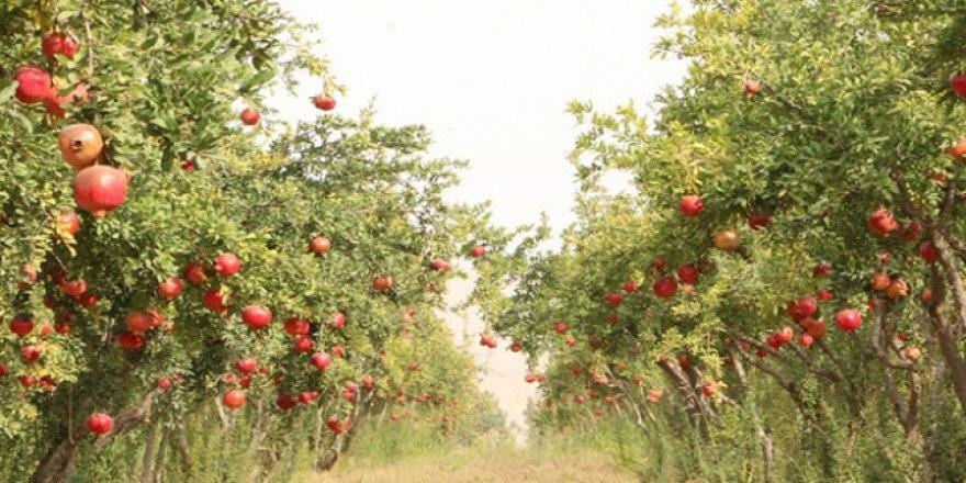 Belediye ihtiyaç sahiplerine kendi bahçesinden meyve veriyor