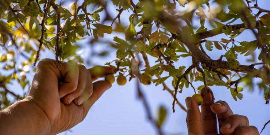 Diyarbakırlı köylülerin gelir kaynaklarından biri de 'alıç'