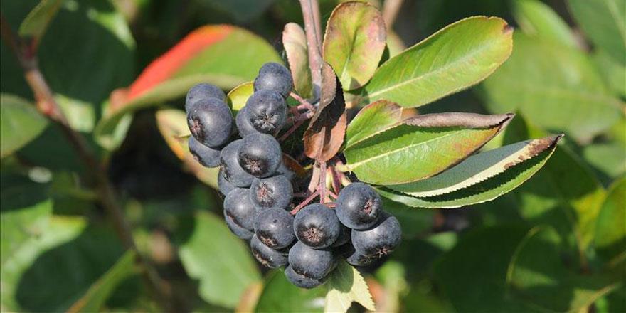 Aronya meyvesi Yalova'nın 'iksir'i olacak