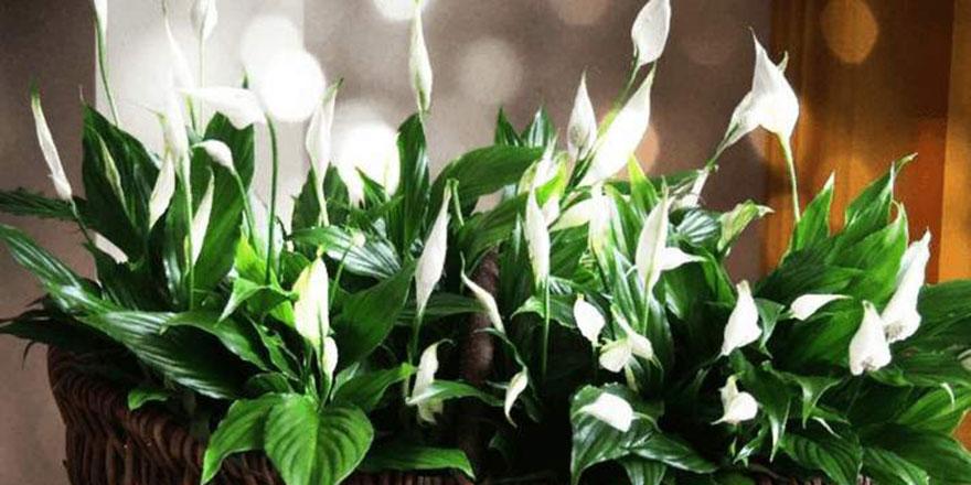 Evdeki çiçek hastalıkların yayılmasını engelliyor