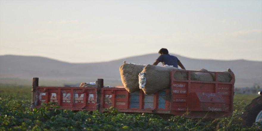 GAP'taki sulama yatırımı ile pamuk üretimi fırladı