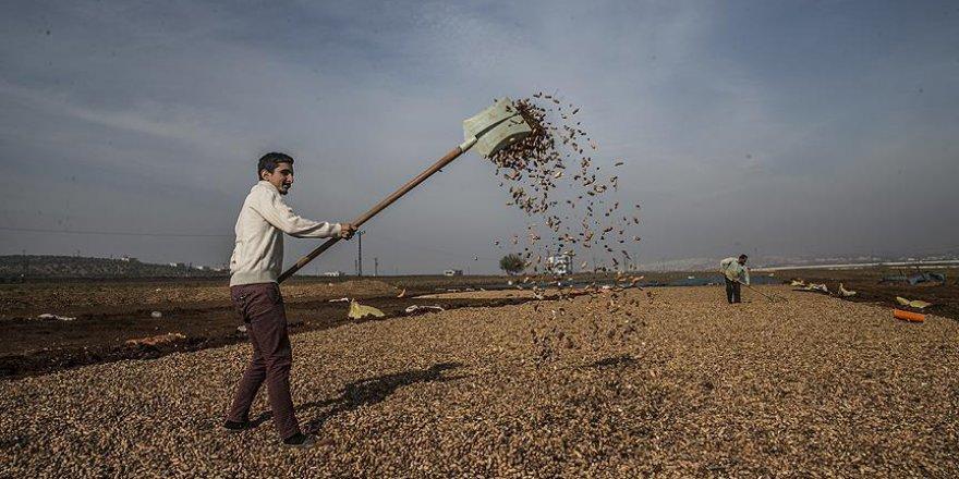 Reyhanlı'da yaşayan Suriyelilerin yer fıstığı tarlalarında ekmek mücadelesi