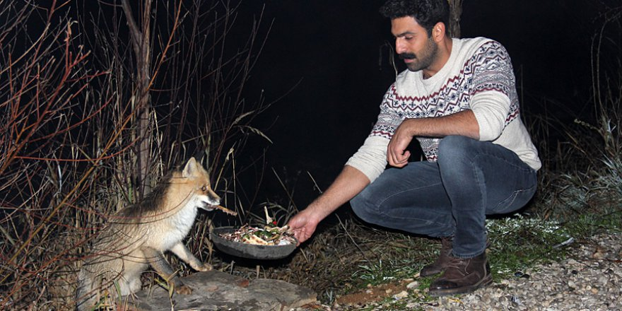 Doğal ortamında aç kalan tilki yemek için turistik tesise geliyor
