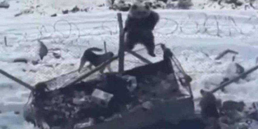 Aç kalan ayı Kato Dağı'nda askeri üsse girdi