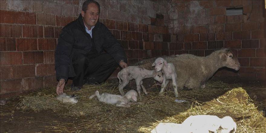 Maşallah: Tek batında 6 kuzu doğurdu
