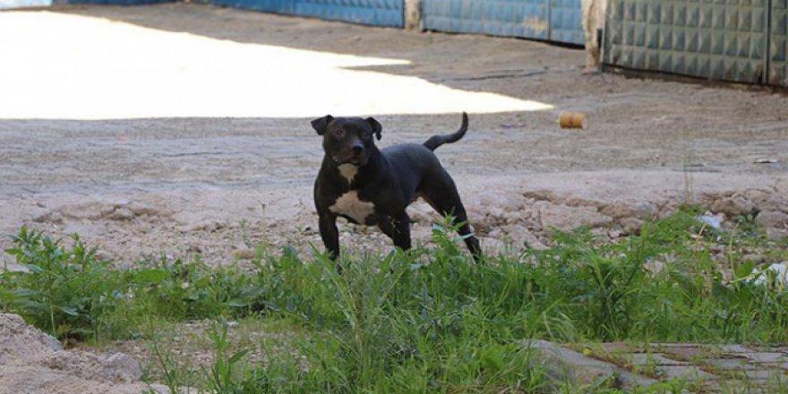 Pitbull cinsi köpek besleyen kişiye para cezası