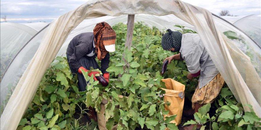Çiftçiler sular altında kalan ürünlerini kurtarmaya çalışıyor
