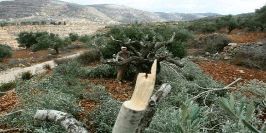 İşgalci Yahudiler Filistinlilere ait 30 zeytin ağacını kesti