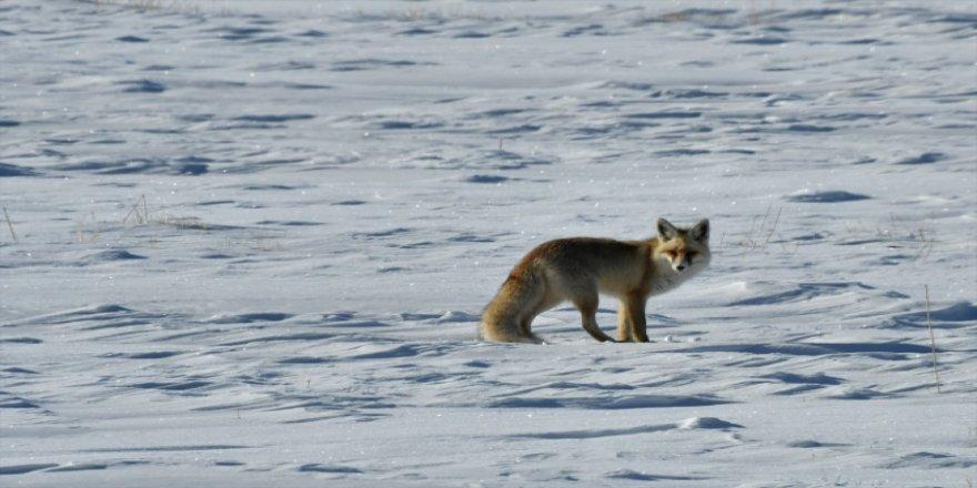 Tilkilerin soğuk havada yiyecek bulma çabası