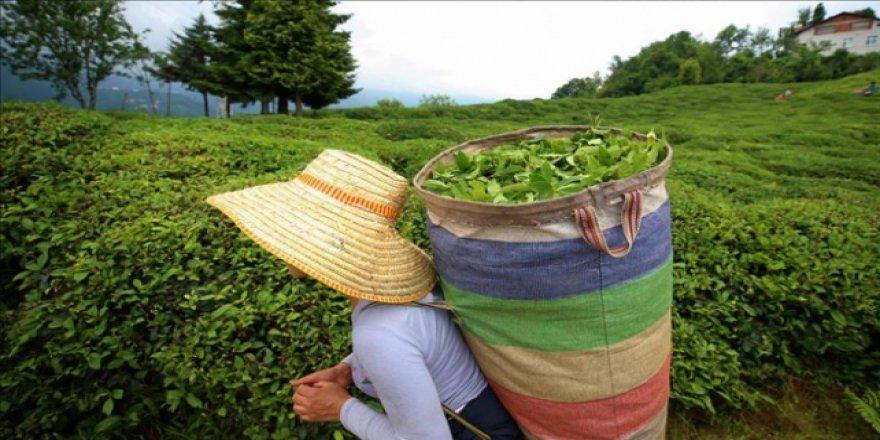 Yeşil çay üreticilerine 13 kuruş fark ödemesi desteği