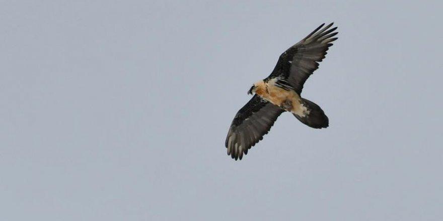 Cenab-ı Hakk'ın temizlik ve sıhhiye memuru kuş Kars'ta görüntülendi