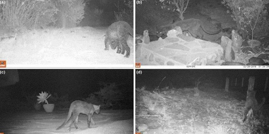 100 yıl sonra ilk: Siyah leopar görüldü