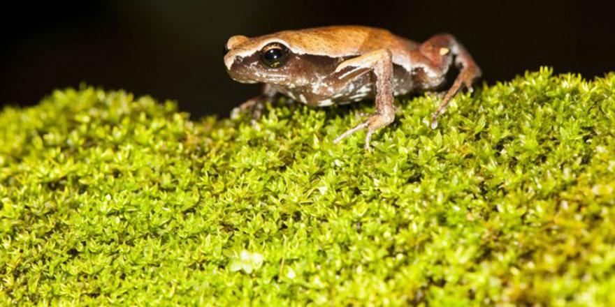 Yeni bir kurbağa türü bulundu: Yılda sadece 4 gün ortaya çıkıyor