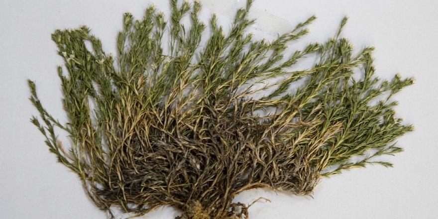 Aziz Sancar'ın ismi bir bitkiye verildi