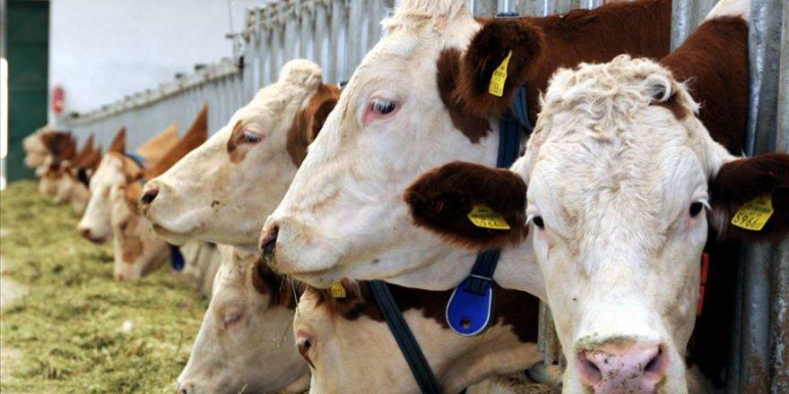 Van artık Türkiye'nin et ve süt deposu