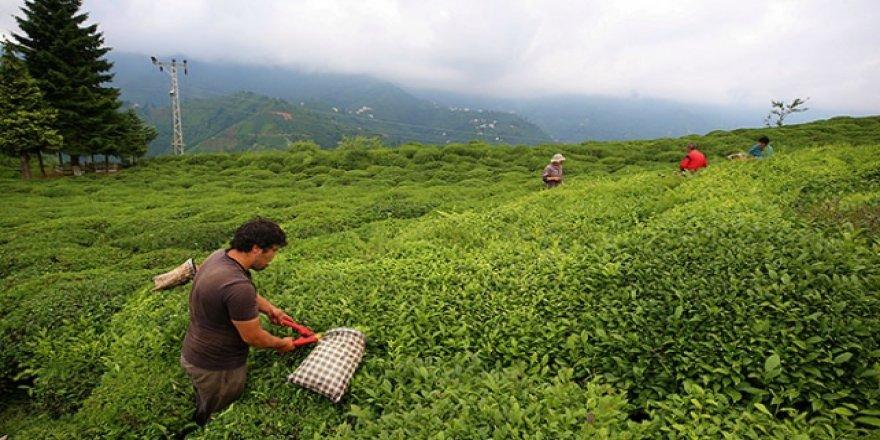 Yaş çay üreticilerine 192 milyon liralık destek ödemeleri başladı