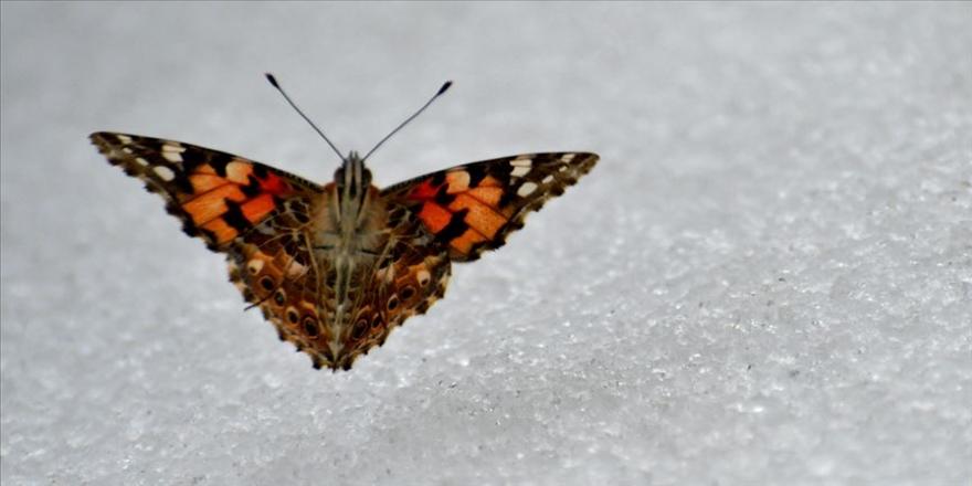 Kar üzerinde görülen kelebekler şaşırttı