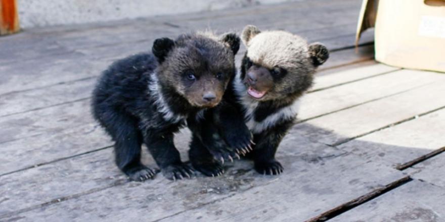 Rusya'da ilginç ihbar: ''Otelde yavru ayılar var''