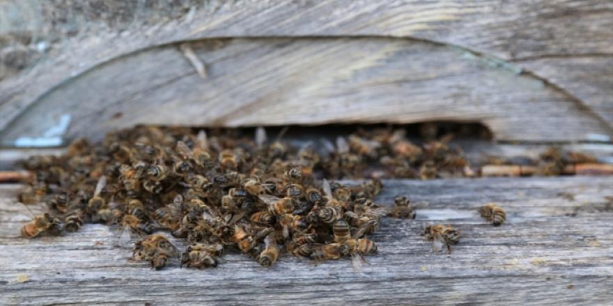 Muğla'da toplu arı ölümü