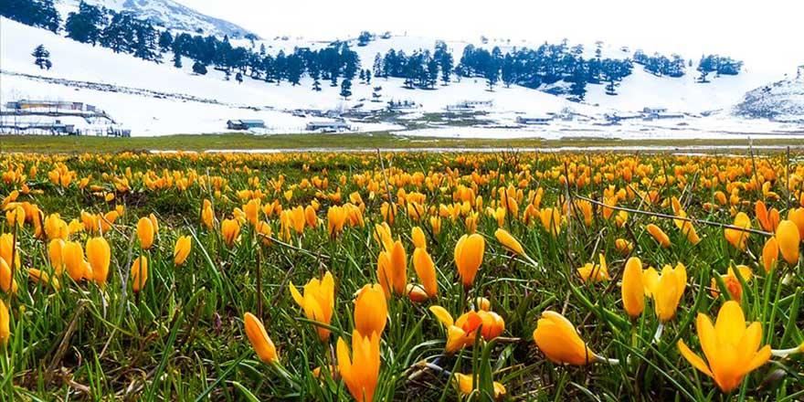Yaratılış harikası karla kaplı Toroslar çiğdemlerle başka güzel