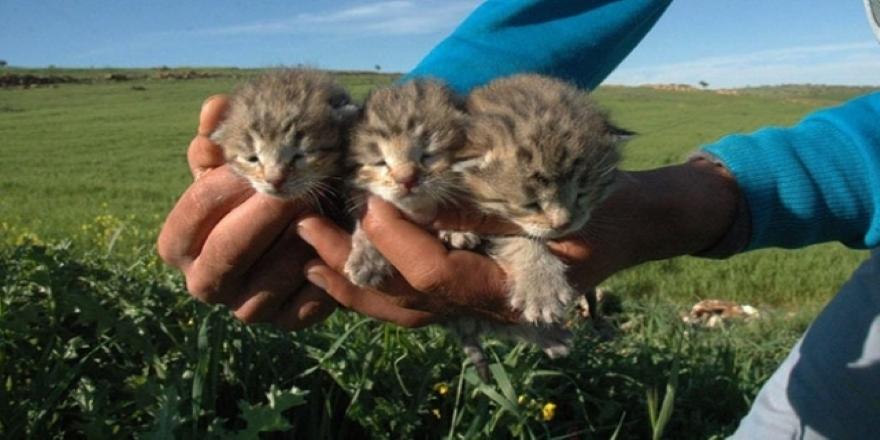 Diyarbakır'da 3 yavru leopar bulundu