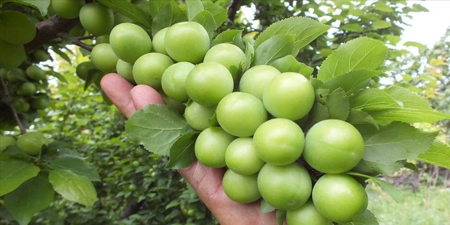 Silifke eriğinin kilogramı bahçede 8-14 liradan satılıyor