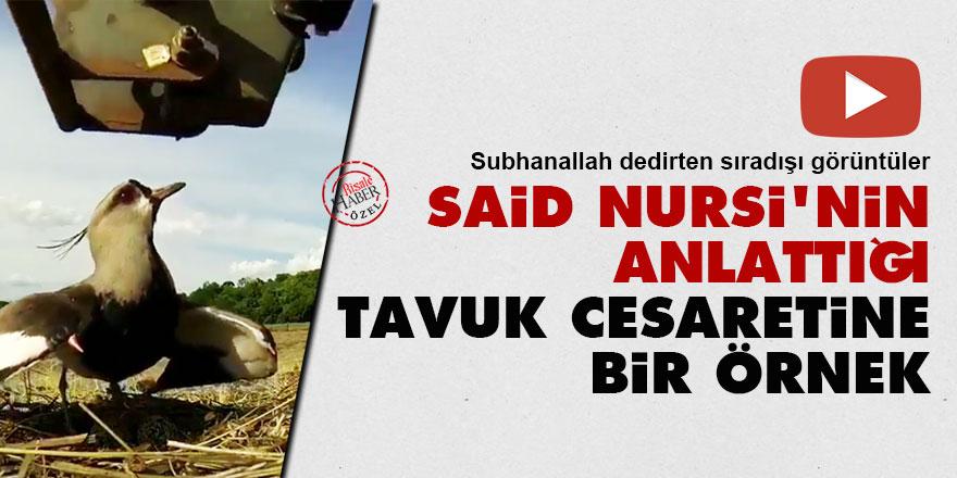 Said Nursi'nin anlattığı tavuk cesaretine bir örnek