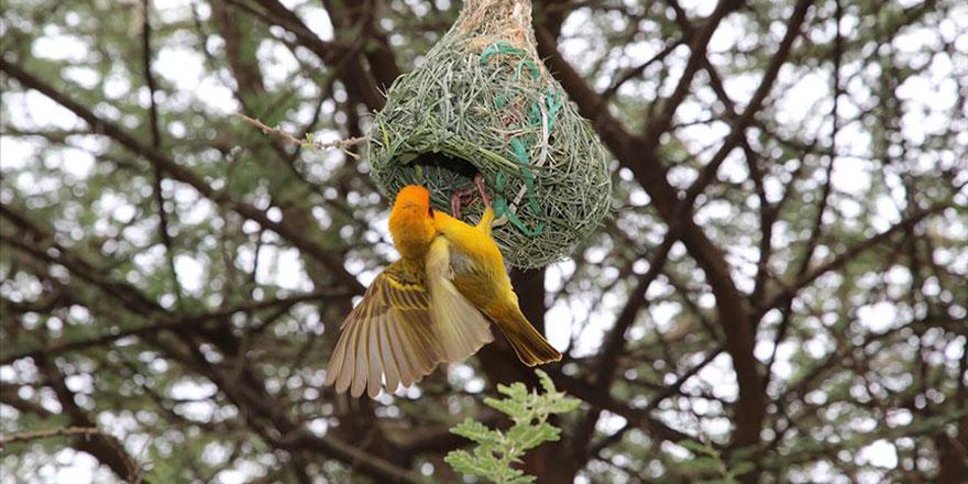 Subhanallah! Afrika'nın mühendis dokumacı kuşları
