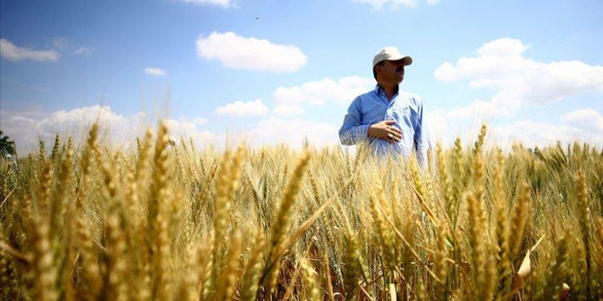 Konya'da üretilen bu buğdaylar kuraklığa dayanıklı