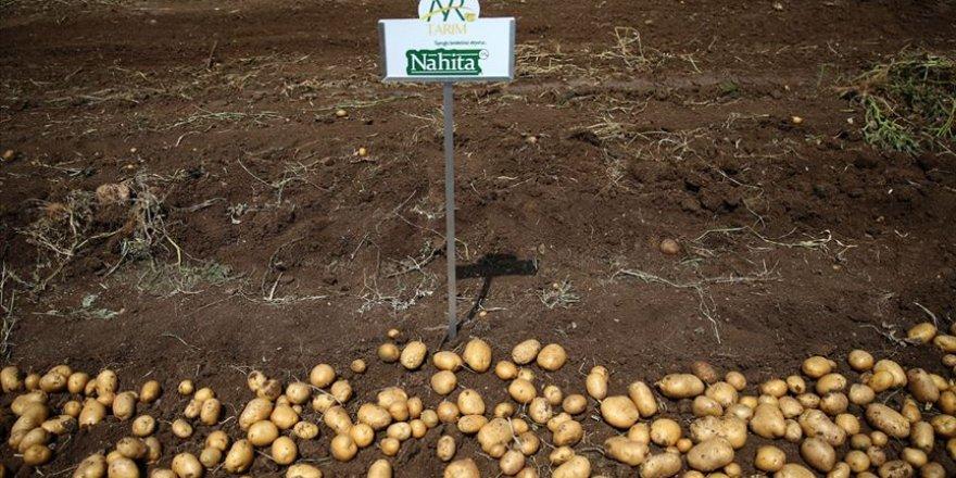 Yerli patates cinsi 'Nahita' görücüye çıktı