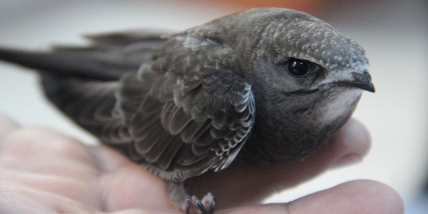 Diyarbakır'da Ebabil kuşu bulundu