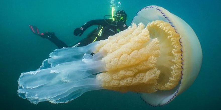 Dev denizanası İngiltere sahillerinde