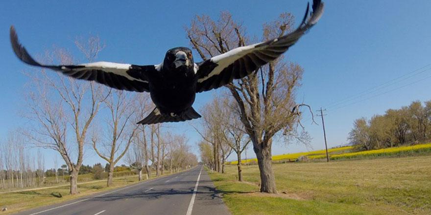 Uzmanlar uyardı: İnsanlara yönelik kuş saldırıları gittikçe yaygınlaşıyor