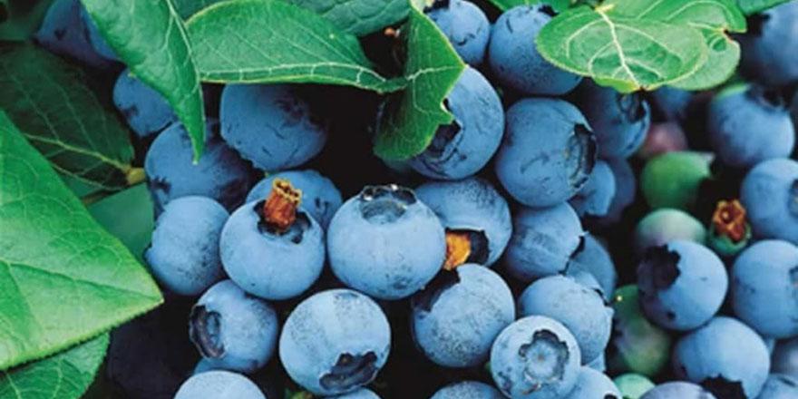 Kadınların gözde meyvesi maviyemişin çok faydası var