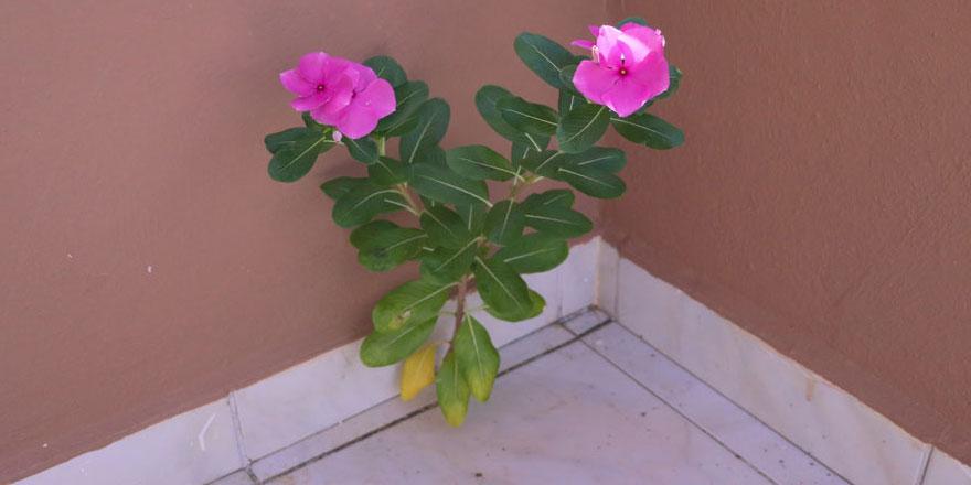 Beton duvarda açan çiçek ancak 'Allah'ın hikmeti' ile açıklanır