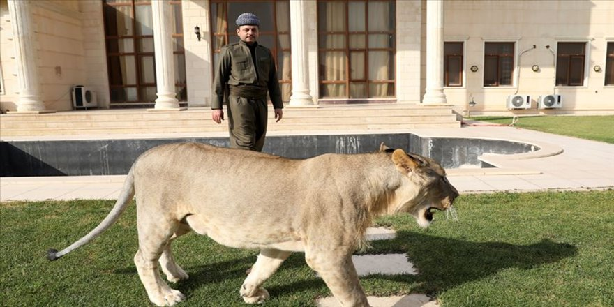 Iraklı hayvansever çocuklarından ayrı tutmadığı yavru aslanı evinde besliyor