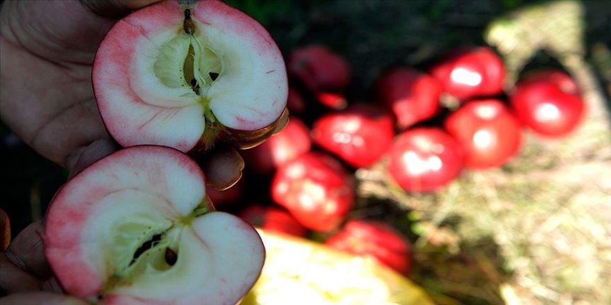 İçi de dışı gibi kırmızı elmaya coğrafi işaret tescili