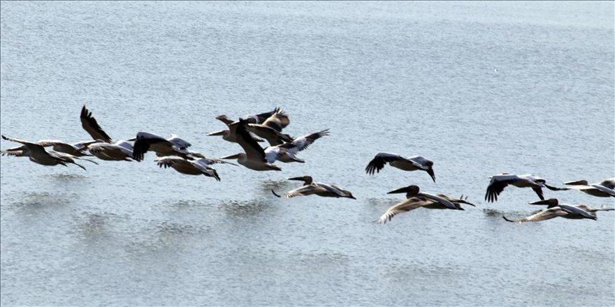 Göç yolundaki pelikan sürüsü İvriz Barajı'nda mola verdi