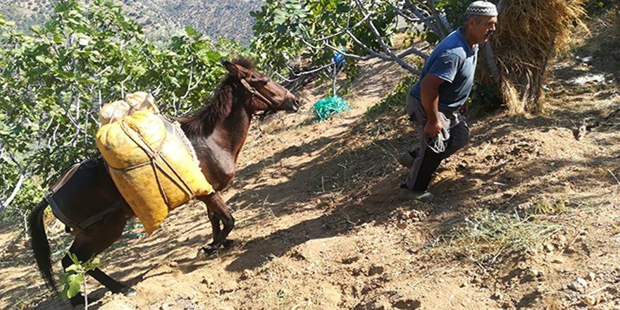 Aydın dağlarında üreticinin en büyük yardımcısı yük hayvanları