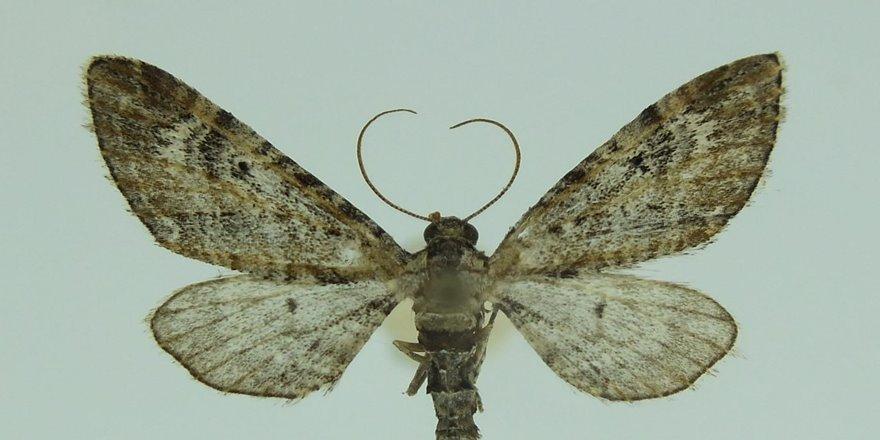 Nemrut Krater Gölü Kalderası'nda yeni bir güve türü tespit edildi