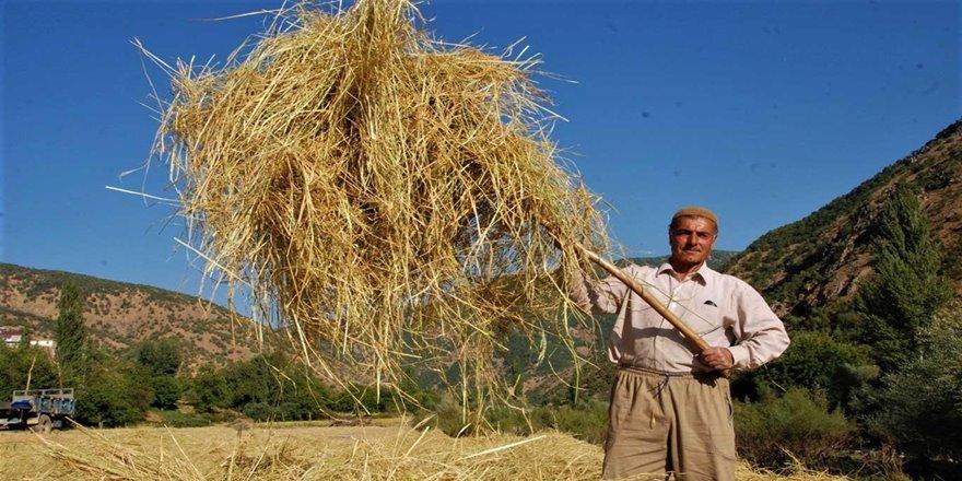 Asırlardır üretilen pirincin hasadına başlandı