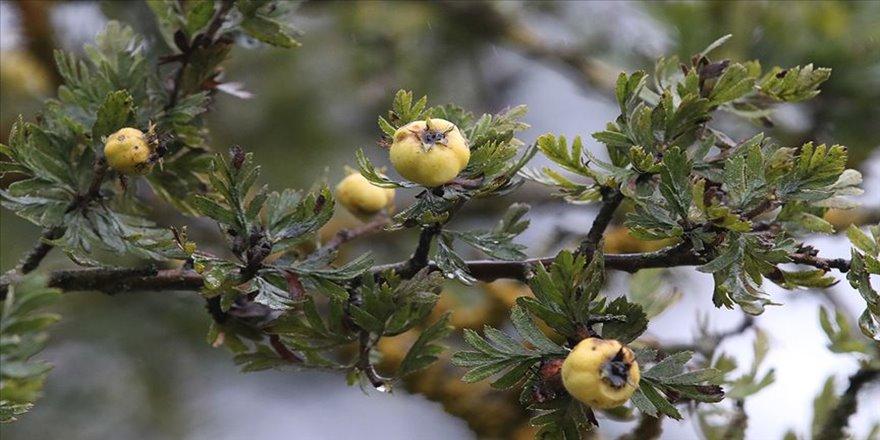 Doğal ilaç dağ meyvesi: Alıç
