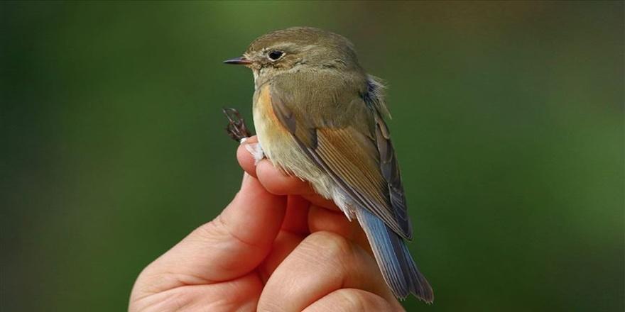 Kızılırmak Deltası Kuş Cenneti'nde 'mavi kuyruklu bülbül' görüldü